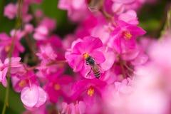 Fioriture e fondo Colourful dell'ape del miele Fotografie Stock