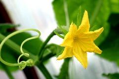 Fioriture gialle del fiore del cetriolo all'aperto di estate Immagine Stock Libera da Diritti