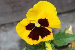 Fioriture gialle di viole del pensiero Lei fiori è molto intelligente immagini stock libere da diritti