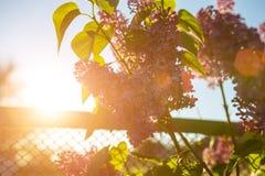 Fioriture lilla in primavera al sole immagine stock
