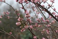 Fioriture porpora del susino in primavera Fotografia Stock