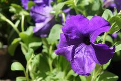 Fioriture porpora della petunia nel giardino di estate mazzo blu scuro delle petunie porpora che appendono sulla fine dell'albero immagine stock libera da diritti