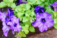 Fioriture porpora della petunia nel giardino nel mazzo blu scuro di estate delle petunie porpora che appendono sulla fine dell'al immagini stock