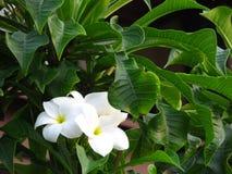 Fioriture profumate bianche pure fragranti favolose con i centri gialli della plumeria tropicale esotica di specie di frangipanni immagine stock libera da diritti