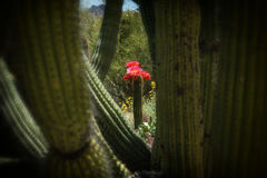 Fioriture rosa del cactus della torcia incorniciate dal cactus della canna d'organo Fotografie Stock Libere da Diritti