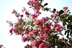 Fioriture rosa del mirto di crêpe sul fondo del cielo Immagini Stock Libere da Diritti