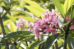Fioriture rosa di Fragipani Fotografia Stock