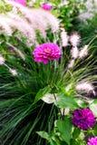 Fioriture rosa & porpora di zinnia fotografie stock libere da diritti