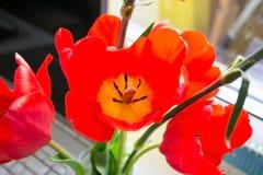 Fioriture rosso-gialle di un tulipano Fotografia Stock