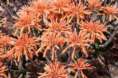Piante di Vera dell'aloe in fioritura Fotografia Stock