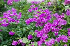 Fiower-Orchideen cllor Hinterhof natürlich Stockbild