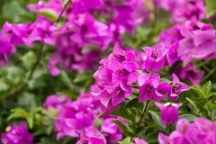 Fiower-Orchideen cllor Hinterhof natürlich Lizenzfreie Stockfotografie