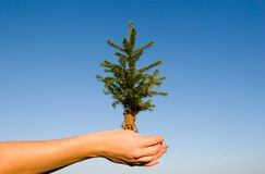 Fir. In female hands a small fir-tree Stock Images