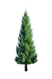 Fir. Green fir isolated on white Royalty Free Stock Photos