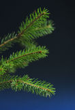Fir Stock Photography
