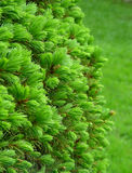 Fir. Growing fir stock photos