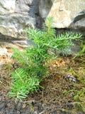 Fir Abies Koreana. Fir growing in the garden Stock Images