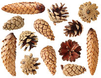 Free Fir And Pine Cones Stock Photo - 16946420