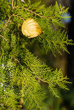Fir and autumn leaves Royalty Free Stock Image