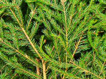 Fir background Stock Images