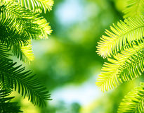 Fir background. Fir branches in the sunlight in a forest Royalty Free Stock Photo