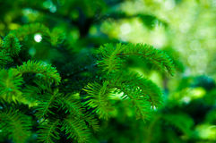 Fir background. Background of green and fresh fir Stock Images