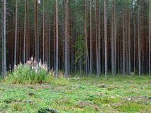 Fir on background of pine forest Royalty Free Stock Photography