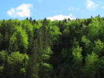 Fir and beech tree forest. The tree tops of a fir and beech forest - green summer colors at a sunny day Stock Photos