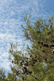 Fir and blue sky Royalty Free Stock Images