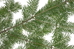 Fir boughs on white background Royalty Free Stock Photo