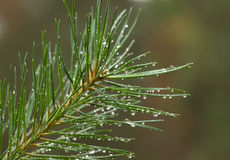 Fir branch. With drops of rain Royalty Free Stock Images