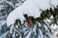 Fir branch. Snowy fir brancn with  snags close up Stock Photos