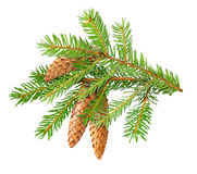 Fir branch Stock Photos