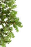 Fir branch Royalty Free Stock Image