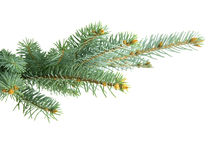 Fir branch. Isolated on white background Royalty Free Stock Photo