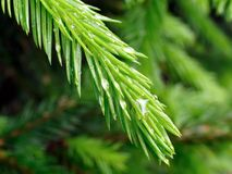 Fir branch. A little branch of fir after rain stock image