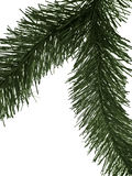 Fir branch. Isolated Stock Image