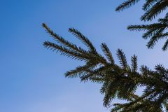 Fir branch against the sky. Spruce branch against the blue sky Royalty Free Stock Photography