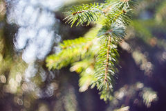 Fir branch on blurred nature background Royalty Free Stock Images