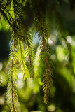 Fir branch on blurred nature background Royalty Free Stock Photography