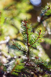 Fir branch on blurred nature background Stock Photo