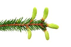 Fir branch with buds Royalty Free Stock Images