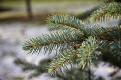 Fir branch close up Royalty Free Stock Photography