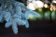 Fir branch close-up. On a dark background Royalty Free Stock Image