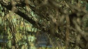 Fir branch close up details. Green needles on the tree in autumn season. Soft panorama. Wonderful nature landscape in stock footage