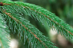 Fir branch close-up. Morning dew on a spruce branch royalty free stock photos
