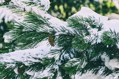 Fir Branch with Cone. Natural vintage fir branch with cone close-up covered in snow Royalty Free Stock Photos