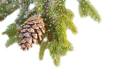 Fir branch with cone, powdered with snow. On white Stock Images