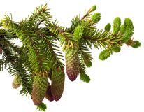 Fir branch Stock Images