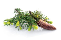 Fir branch with cone Stock Image